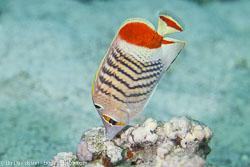 BD-121128-Aqaba-7597-Chaetodon-paucifasciatus.-Ahl.-1923-[Eritrean-butterflyfish].jpg